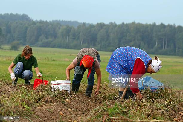 Potatoes harvest and woman