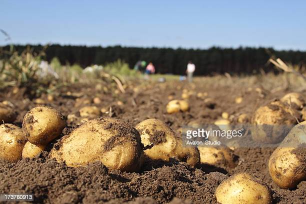 Potatoes in a field