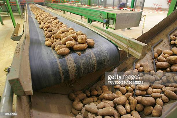 Potatoes move toward their cleaning site on October 1 2009 in Matougues northern France at McCain deep frozen French fries factory McCain Foods...
