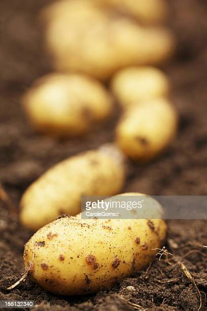 Potatoes on top of dirt pulled from the land