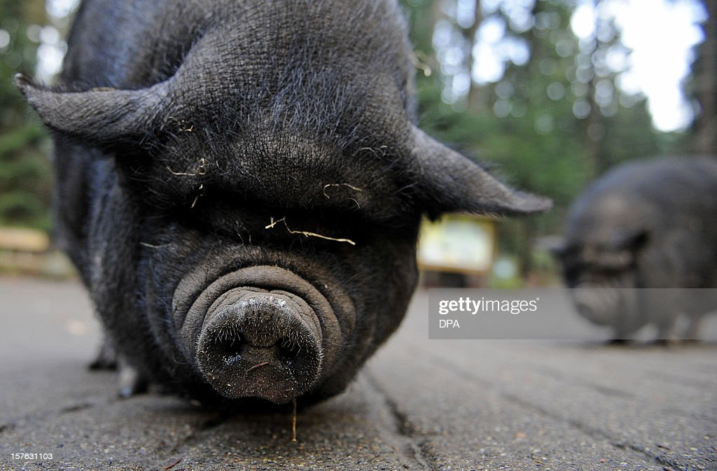 A pot-bellied pig (Sus scrofa) looks into the camera at 'Schwarze Berge' animal part, south of Hamburg, in Rosengarten,on December 4, 2012. Over a thousand animals live at the park with an area of 50 hectares. AFP PHOTO / Axel Heimken /GERMANY OUT