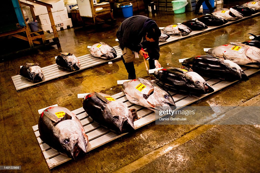 A potential bidder carefully examines pieces of Tuna in order to ascertain the quality and to estimate its price ahead of the Tuna auction at the...