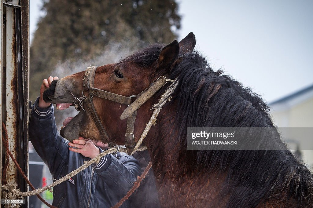 A potential buyer checks horse's teeth at the annual horse market in Skaryszew, on February 18, 2013. The horse market in Skaryszew is the bigest and the oldest one in Poland, it takes place every year continuosly since 1432. Last years it created controvers because of bad animal treatment. The European Union on Friday agreed the immediate launch of tests for horse DNA in meat products as part of a plan to battle food fraud following the horsemeat scandal spreading across Europe.