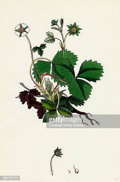Potentilla Fragariastrum Barren Strawberry