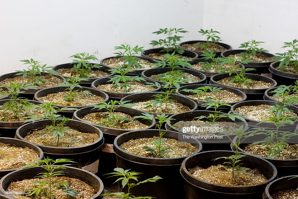 Pots of cannabis sit in rows in a 'veg room' inside a medical cannabis cultivation facility in Denver, Colorado, U.S., on Monday, March 4, 2013. This is inside a warehouse in Denver, and is one of the facilities that Kristi Kelly, Co-Founder of Good Meds Network, operates.