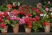 'Rows of vintage pots of red, pink and white geraniums against a black background'