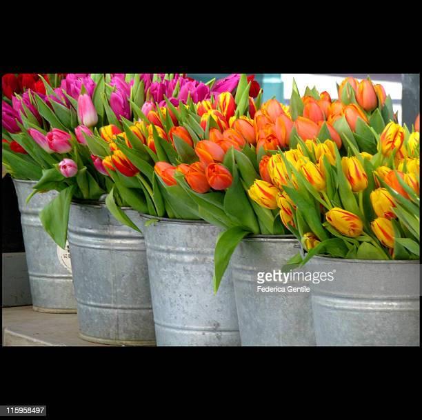 Pots of Tulips flowers
