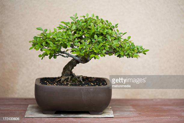 A potted bonsai tree on a wooden table