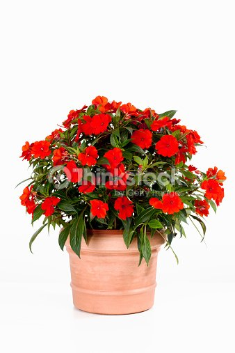 Potted busy lizzie against white background : Stock Photo