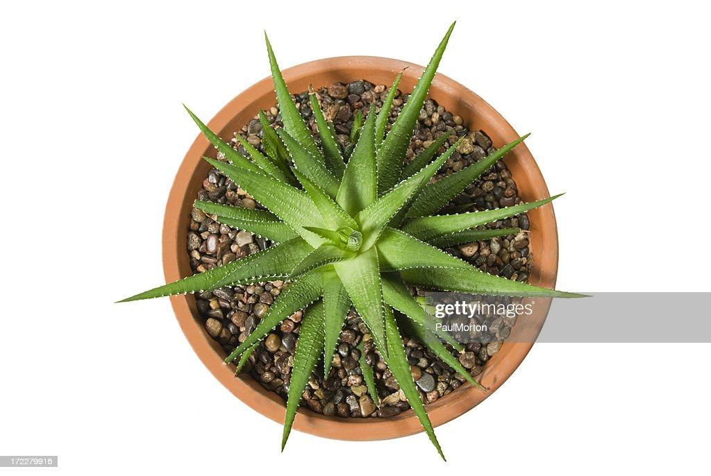 Potted Cactus : Stock Photo