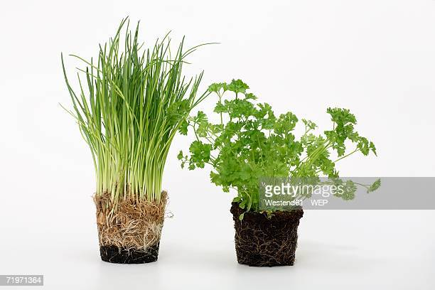 Potted chives and parsley, close-up