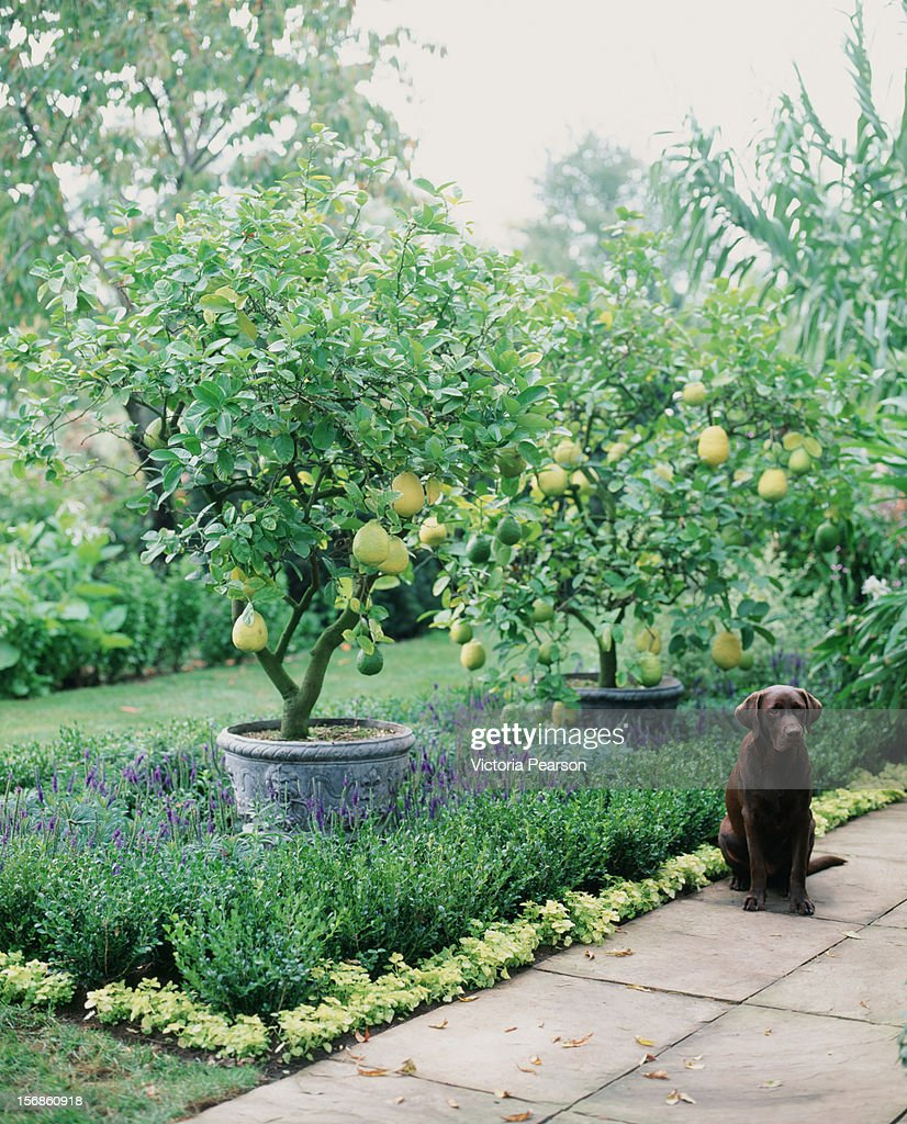 Potted citrus trees and a dog in a garden. : Stock Photo