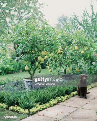 Potted citrus trees and a dog in a garden. : ストックフォト