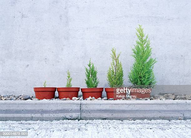 Potted conifers in size order
