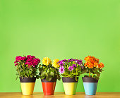 Four potted flower seedling plants planted in colorful pots. Including Carnation, Begonia, Osteospermum and Dahlia. They are lined up in a horizontal row against a green blank background designed for