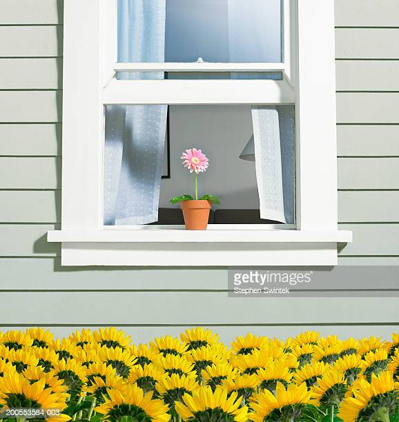 Potted Gerber daisy (Gerbera jamesonii) on window sill of house overlooking bed of sunflowers below
