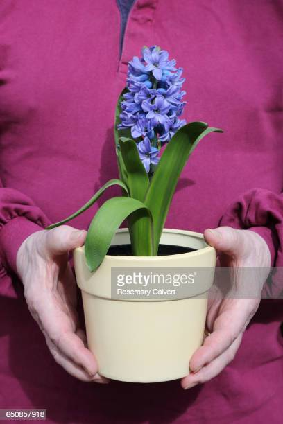 Potted hyacinth plant in flower being held by senior man.