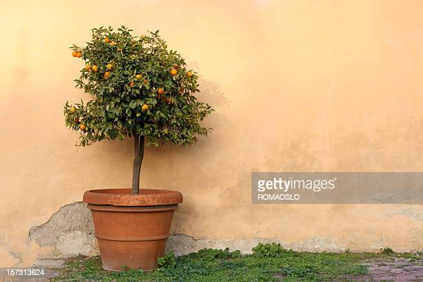 Potted orange tree in Rome, Italy