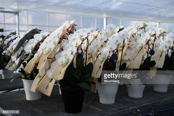 Potted orchids sit in a greenhouse at Ushimura Orchid Farm a supplier to ArtGreen Co in Ebina City Kanagawa Prefecture Japan on Friday Jan 6 2017...