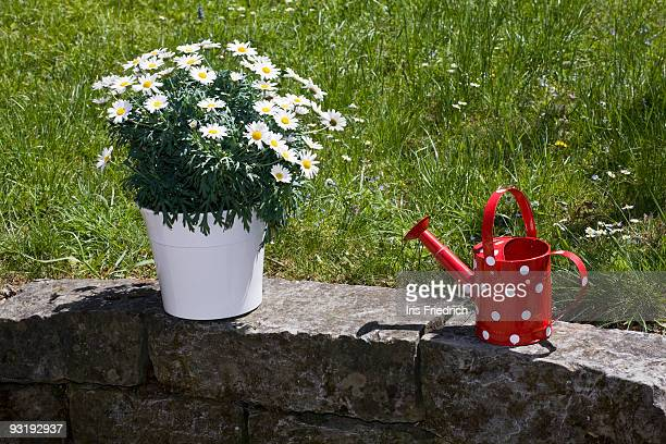 A potted plant of daisies and a watering can