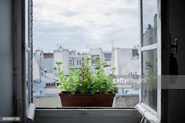 Potted plant on the window seel in Paris