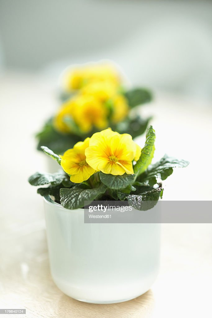 Potted plant with yellow primroses, close up