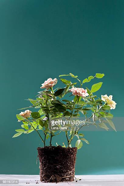 Potted roses uprooted