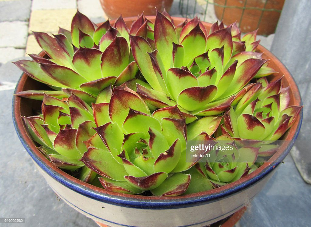 Potted Sempervivum plant : ストックフォト