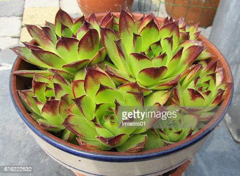 Potted Sempervivum plant : Stock Photo
