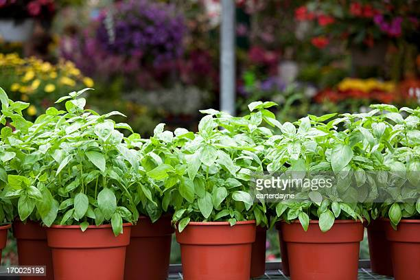 Potted spring flowers and basil in plant nursery