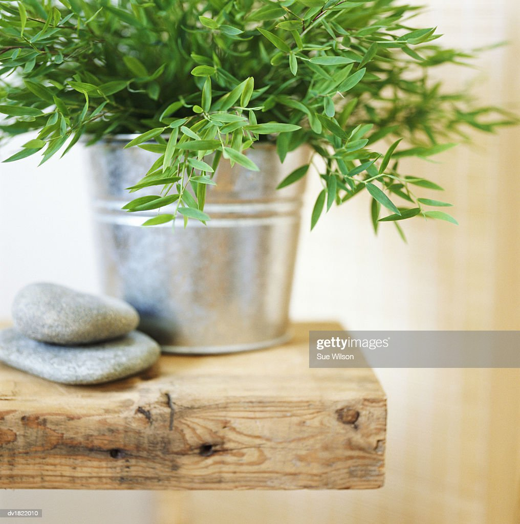 Potted Tarragon and Two Pebbles on a Wooden Plank