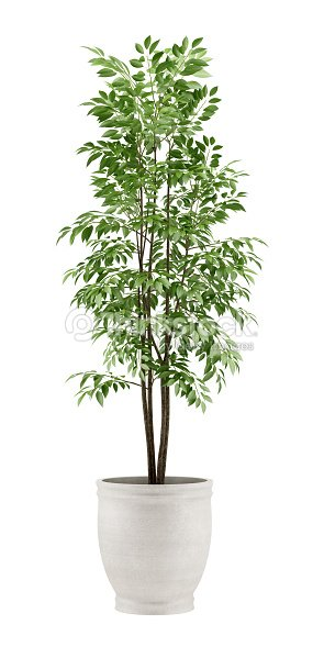 potted tree isolated on white background : Stock Photo
