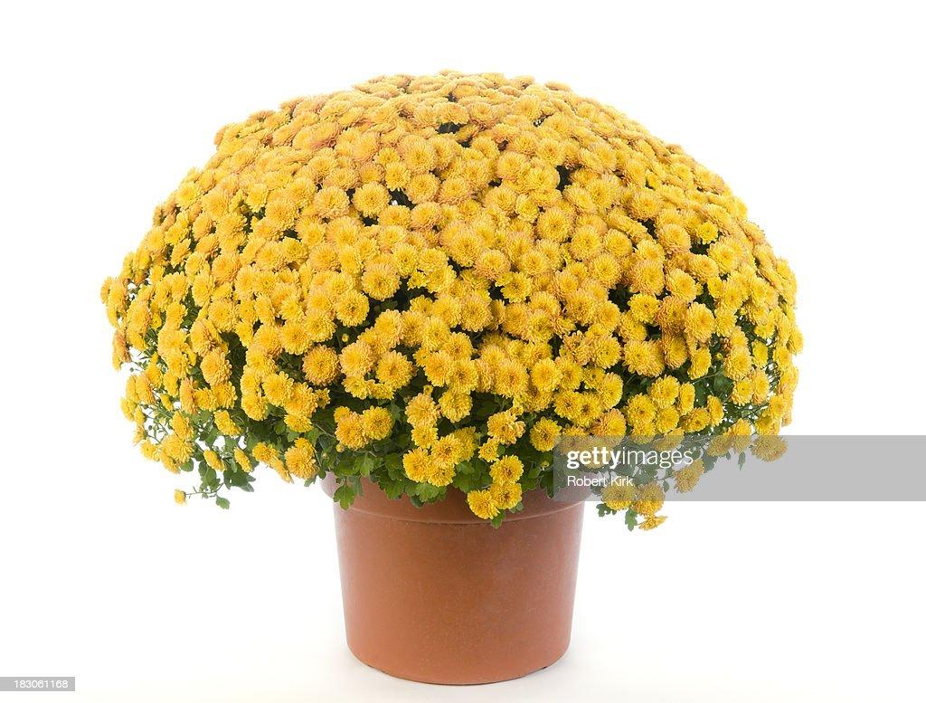 Potted Yellow Chrysanthemum - Mums