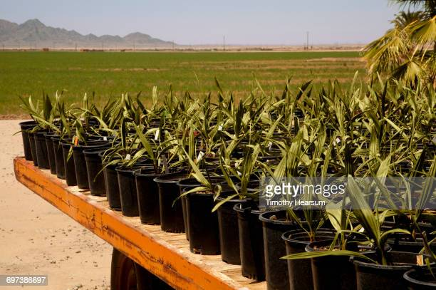 Potted young Medjool date palms on a wagon
