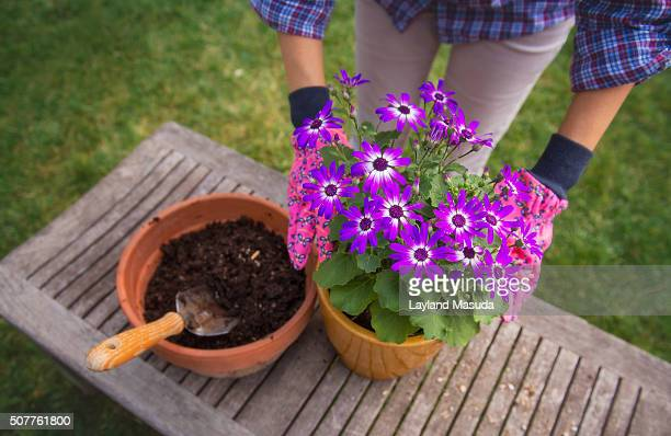 Potting Violet Cineraria Flowers