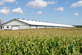 A white chicken barn next to a field of fully grown corn.