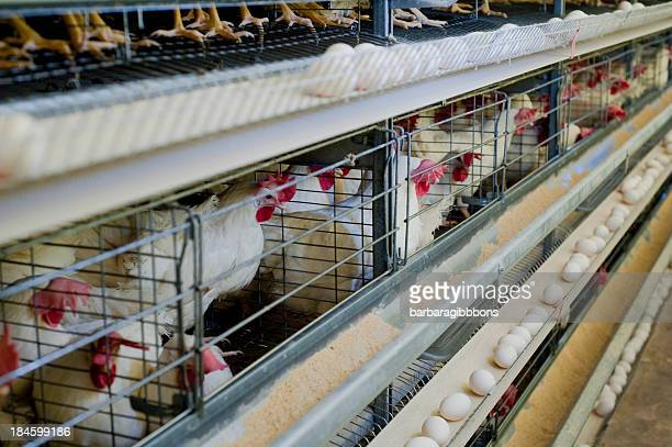 Poultry hens lined up in cages with eggs on a conveyor belt