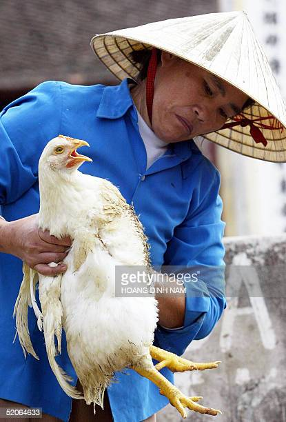 A poultry trader inspects a chicken at a poultry market in Thuong Tin district Nothern province of Ha Tay 26 January 2005 Bird flu has dealt...