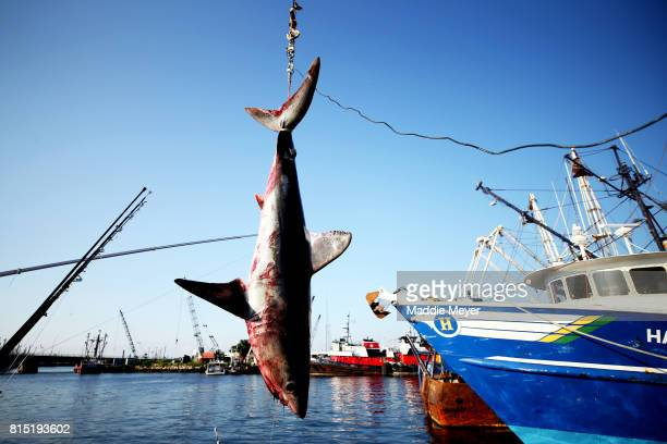 A 265 pound porbeagle shark is weighed during the 31st North Atlantic Monster Shark Tournament at State Pier 3 on July 15 2017 in New Bedford...