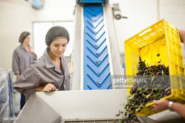 Pouring crate of olives onto conveyor belt