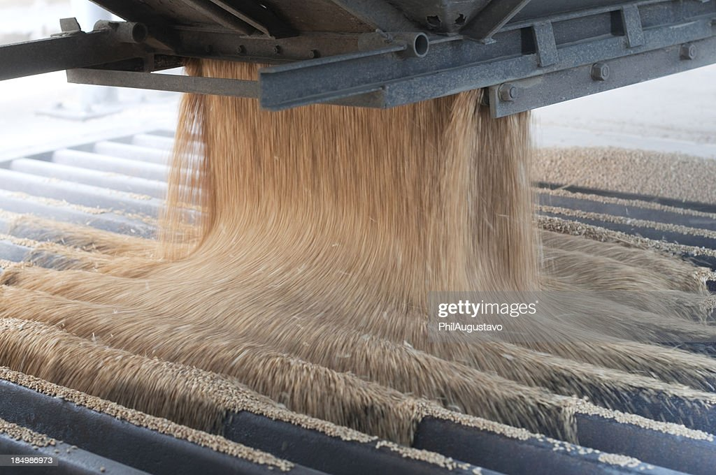 Pouring harvested wheat into a metal grate