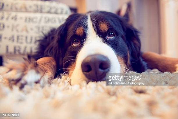 A pouting Bernese Mountain Dog