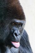 Pouting gorilla