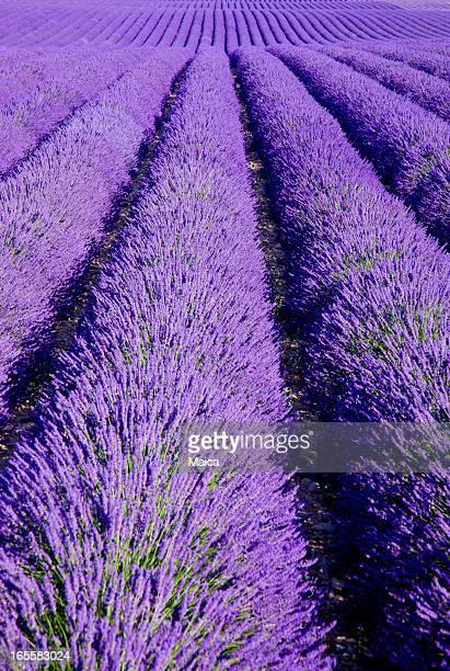 Povençal Lavendel Feld