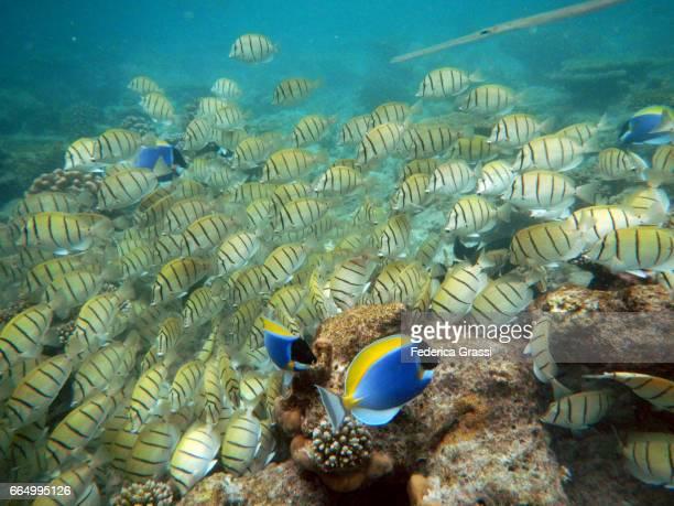 Powder Blue Surgeonfish and Convict Surgeonfish