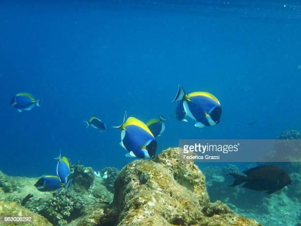 Powderblue Surgeonfish on the Coral Reef at Biyadhoo, Maldives