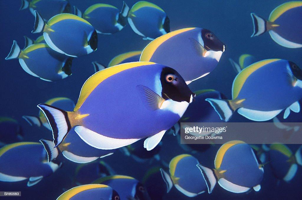 Powderblue surgeonfish school (Acanthurus leucosternon) : Stock Photo