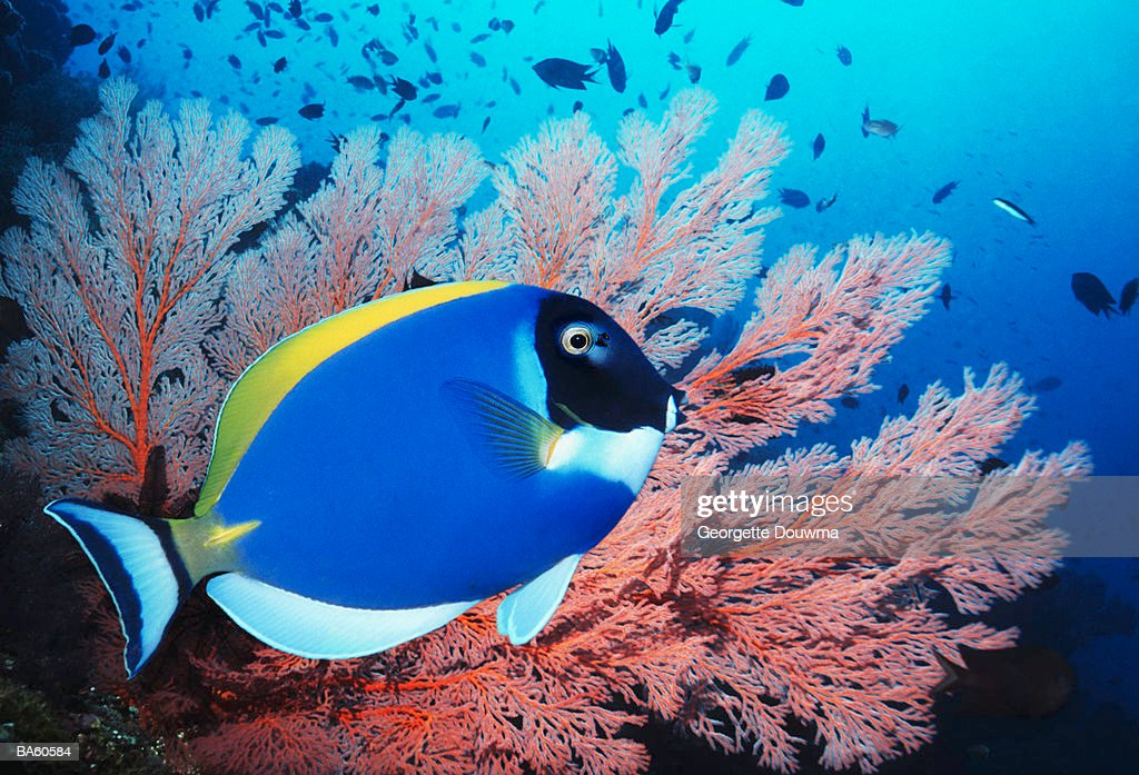 Powderblue surgeonfish (Acanthurus leucosternon) with gorgonian coral : Stock Photo