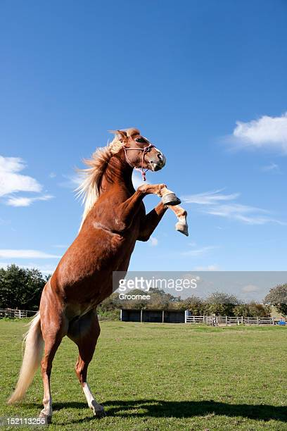 Power and beauty-chestnut horse rears set against blue sky