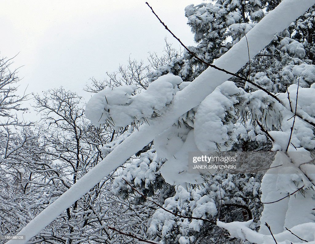 A power supply line is covered in snow on April 1, 2013 in a village near Warsaw. Heavy snowfall in central Poland caused a main power blackout, leaving more than 100,000 domestic homes without electricity. AFP PHOTO / JANEK SKARZYNSKI